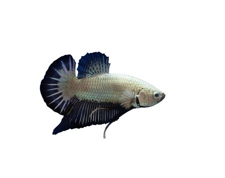Siamese fighting fish short fin betta fish Stok Fotoğraf