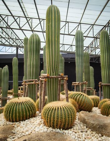 Saguaro and Golden cactus decorated in the garden