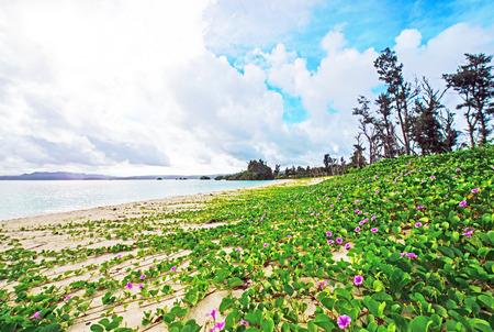 And flowers of white beach okinawa japan stock photo picture and and flowers of white beach okinawa japan stock photo 43131175 mightylinksfo