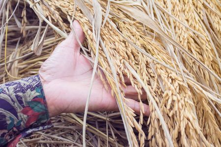 hybridization: Ear of rice in farmers hand