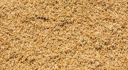 hybridization: Rice, paddy