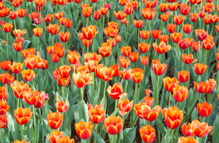 occupy: Orange tulips flowers vivid occupy all the background Stock Photo