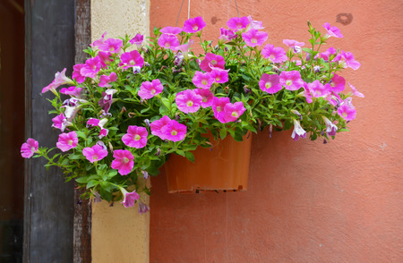 hanging basket: A hanging basket filled with vibrant pink petunias with orange  wall