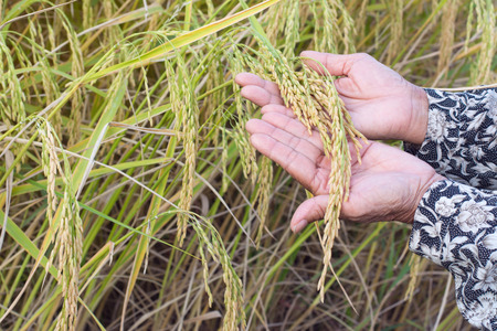 hybridization: Ear of rice in farmers hands