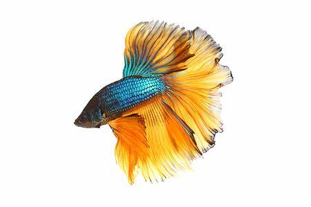 Blau-gelber Kampffisch mit isoliertem a auf weißem Hintergrund
