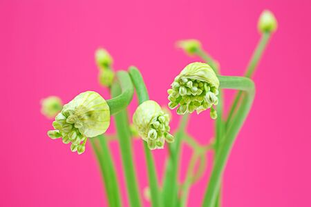 Edible with herbs of Onion Flower Stem of Thai vegetables on a pink background