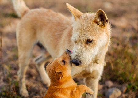 brown young dog kiss adult dog in the meadow Фото со стока