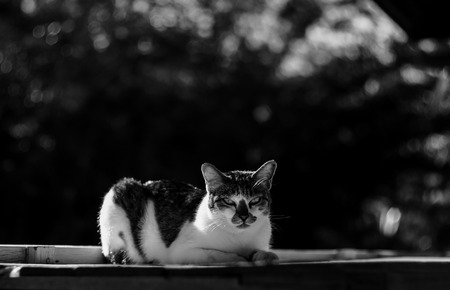 Adorable black and white cat sunbathing in black and white