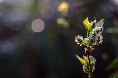 Mulberry flowers are blooming. Focus mulberry on branch with leafs, mulberry with bokeh background. fresh organic mulberry fruit. Фото со стока