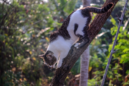 Black and white cat climb down from the tree