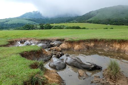Water buffalo at Qingtiangang Grassland, Yangmingshan, Taiwan Фото со стока