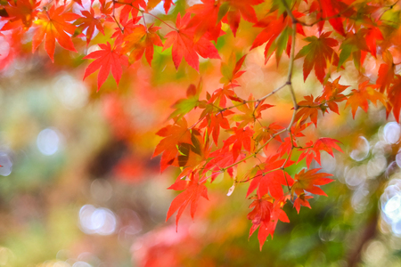 Red maple on blur bokeh background
