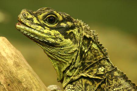 wonderful green dragon lizard watching intently Stock Photo - 902400