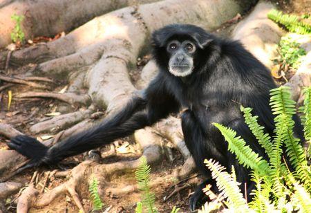 siamang: a small siamang monkey at the zoo Stock Photo