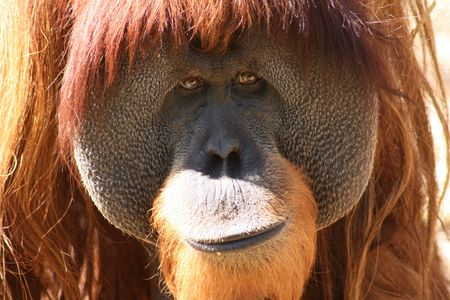 orang-utan face close up with kind eyes
