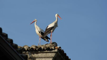 couple of storks on the roof Фото со стока
