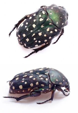 Green beetle (Cetonia aurata) on white background  photo