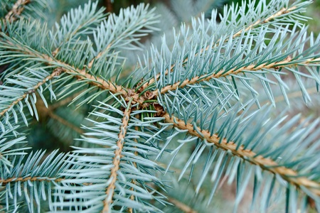 bine: Young branch of the blue spruce with a lot of needles Stock Photo