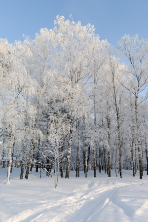 Sunny winter day at the birch forest Stock Photo - 18059516