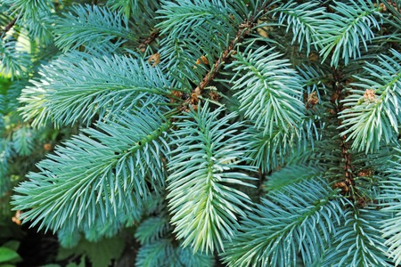 Several fluffy brunches of the blue spruce photo