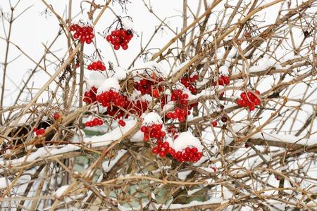 boule de neige: Baies m�res de boules de neige en hiver Banque d'images