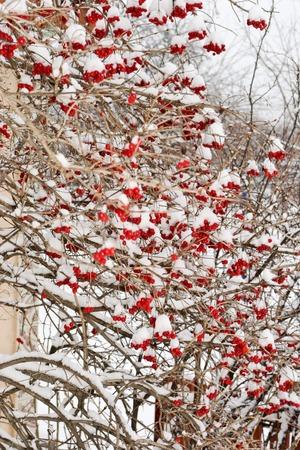 moltitudine: Moltitudine di bacche mature palla di neve