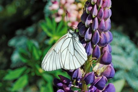 Weiß Schmetterling Auf Der Blume Lupine Lizenzfreie Fotos, Bilder ...