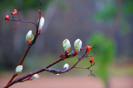 last year: red viburnum berries from last year