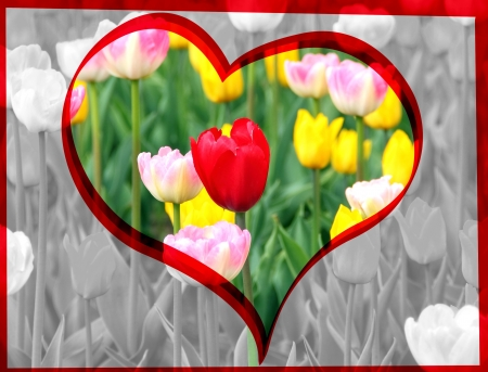 valentine heart red spring tulip photo