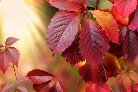 autumn leaves against sunlight photo