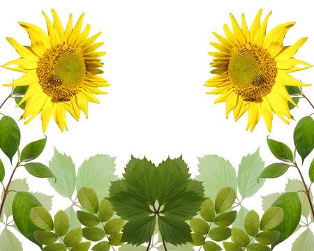 sunflower garden leaves on white background  photo