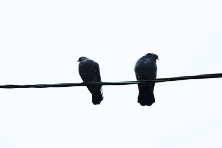 birds pigeons on wires on a light background freeze in cold autumn weather. Stock Photo