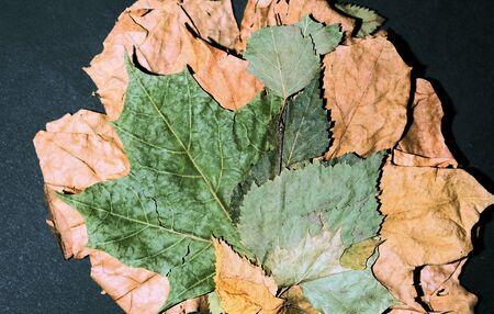 herbarium autumn leaves on a dark background. Still life.