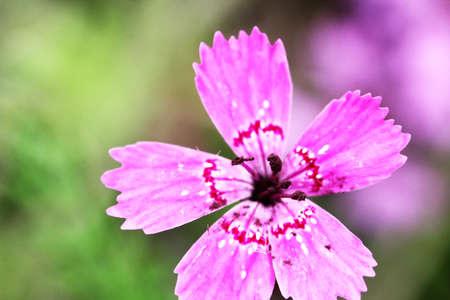 Purple flowers of cornflowers natural green blurred background 免版税图像