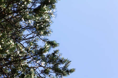 Pine branch with cones against the blue sky. Pine branch close up. Vertical photo. Pine branch background texture 写真素材