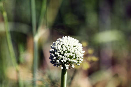 Delicate white onion flower, home garden with vegetables, onion flowering