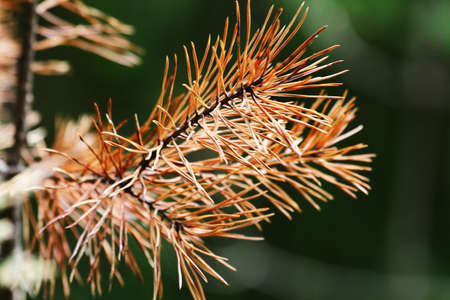 pine branch with large needles close-up natural background
