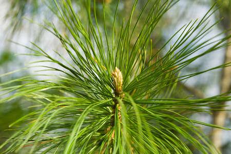 Branch of a cedar in a wood photo