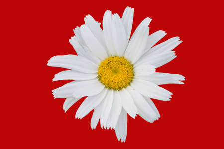 The isolated flower of a camomile on a red background. Stock Photo - 1327403
