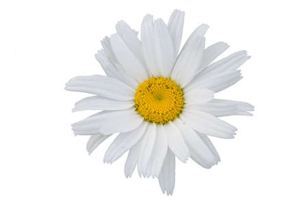 The isolated flower of a camomile on a white background. Stock Photo - 1334919