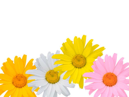 Multi-coloured camomiles on a white background