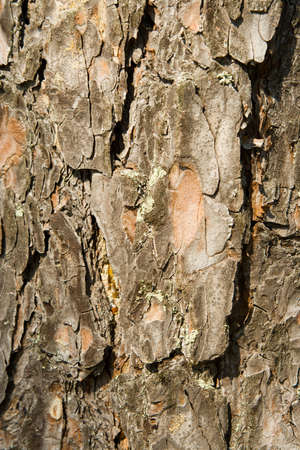 Texture from a pine bark photo