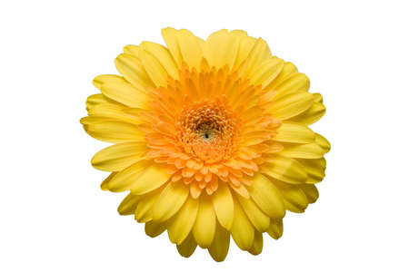 The isolated flower of a gerbera on a white background. Stock Photo - 1584220