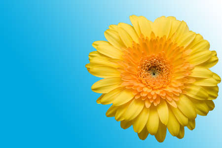 The isolated flower of a gerbera on a blue background. Stock Photo - 1621244