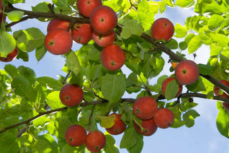 useful: Ripe red apples on a tree Stock Photo