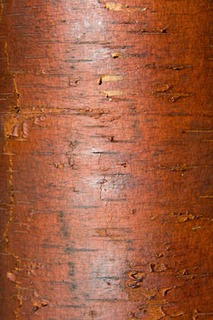 Texture from a birch bark photo