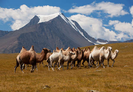 mongolia: Herd camels against mountain. Altay mountains. Mongolia