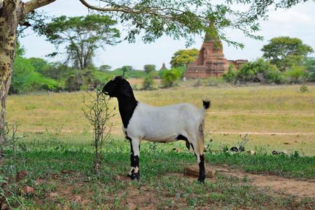 amongst: Goat Amongst Temples, Bagan, Myanmar