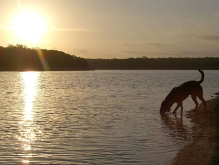 Dog drinking from lake at sunset