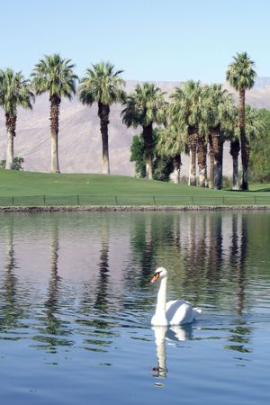 Swan in lake with golf course and mountains Foto de archivo